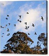 Cockatoos - Canberra - Australia Acrylic Print