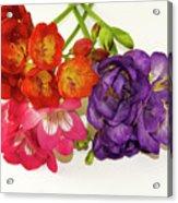 Colorful Freesia Acrylic Print