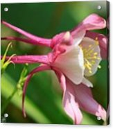 Columbine From The Songbird Series Named Robin Acrylic Print