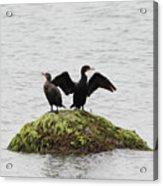 Cormorants Port Jefferson New York Acrylic Print