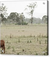 Country Cow Acrylic Print