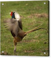 Crowing Pheasant Acrylic Print