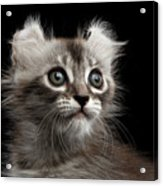 Cute American Curl Kitten With Twisted Ears Isolated Black Background Acrylic Print