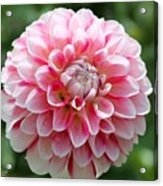Dahlia Named Hawaii Acrylic Print