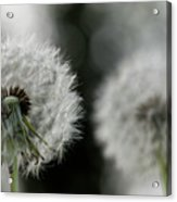 Dandelion Close-up Acrylic Print