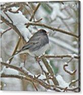 Dark-eyed Junco - Snowbird Acrylic Print