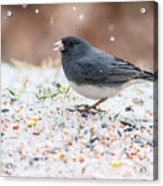 Dark Eyed Junco Acrylic Print