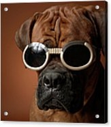 Dog Wearing Sunglasses Acrylic Print by Chris Amaral
