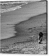 2 Dogs 2 Men Beach  Acrylic Print
