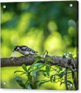 Downy Woodpecker In The Wild Acrylic Print