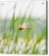 Dragonfly Flying Acrylic Print
