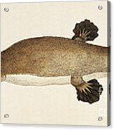 Duck-billed Platypus Ornithorhynchus Acrylic Print