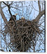 2 Eagles On Nest  3172b  Acrylic Print