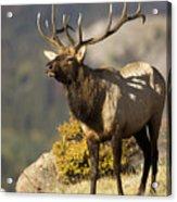 Early Morning Bull Elk Acrylic Print