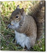 Eastern Gray Squirrel Acrylic Print