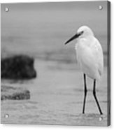 Egret In Black And White Acrylic Print