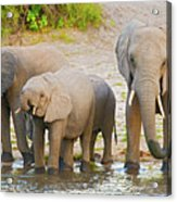 Elephants At The Bank Of Chobe River In Botswana Acrylic Print