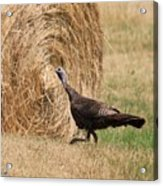 Female Eastern Wild Turkey Acrylic Print