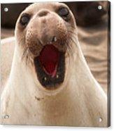 Female Northern Elephant Seal Mirounga Angustirostris Acrylic Print