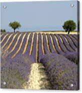 Field Of Lavender. Provence Acrylic Print