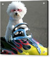 Fifi Goes For A Ride Acrylic Print