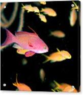 Fiji, Reef Scene Acrylic Print