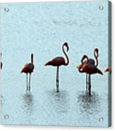 Flamingo Family Acrylic Print