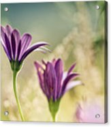 Flower On Summer Meadow Acrylic Print