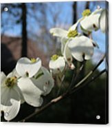 Flowering Dogwood Acrylic Print