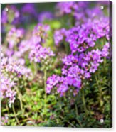 Flowering Thyme Acrylic Print