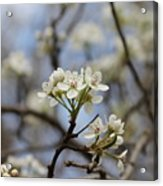 Flowering Trees Acrylic Print