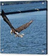 Flying Eagle. Acrylic Print