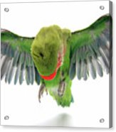 Flying Parrot  Acrylic Print