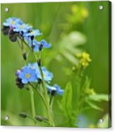 Forget-me-not. Acrylic Print