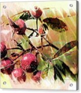 Fruit Of The Wild Rose Acrylic Print