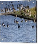Geese On The Water Acrylic Print