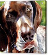 German Short Haired Pointer Acrylic Print