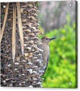 Gila Woodpecker Acrylic Print