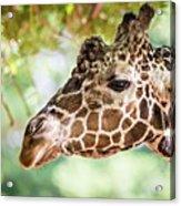 Giraffe Feeding On Green Leaves Of Lettuce Acrylic Print