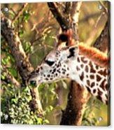 Giraffe Acrylic Print by Sebastian Musial