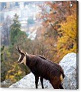 Goat In The Austrian Alps Acrylic Print