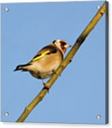 Goldfinch Acrylic Print
