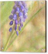Grape Hyacinth Acrylic Print