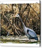 Great Blue Heron Fishing Acrylic Print