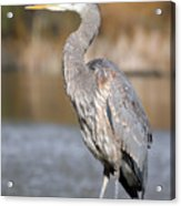 Great Blue Heron In Stanley Park Vancouver Acrylic Print