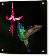 Green Violetear Colibri Thalassinus Acrylic Print