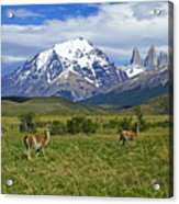 Guanacos In Torres Del Paine Acrylic Print