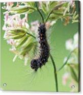 Gypsy Moth Caterpillar Acrylic Print