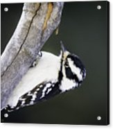 Hairy Woodpecker Acrylic Print