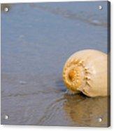 Harp Shell On Beach Acrylic Print